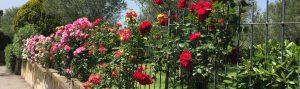 Sommerliche Rosen am Zaun